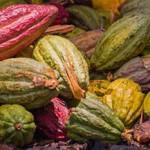 Как растет какао дерево